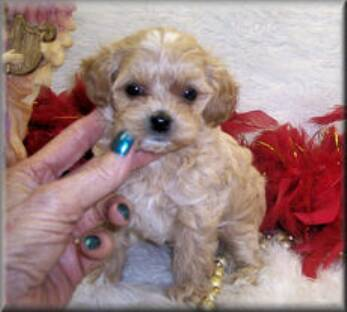 apricot maltipoo puppies