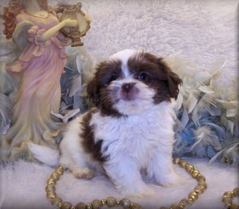 brown and white shih poo puppies