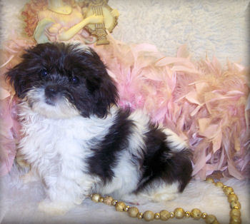 black and white shih poo puppy