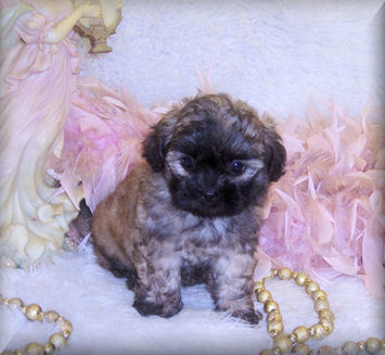 teacup shih poo puppies for sale