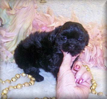 black shih poo puppies for sale